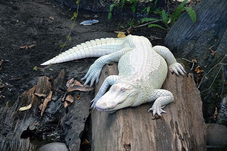 An Albino Alligator At N C Aquarium Fort Fisher