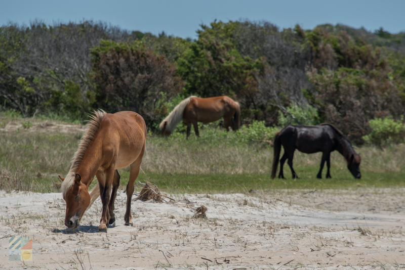 Banker ponies on the Shackleford Banks - Cape Lookout National Seashore